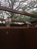BREEDING PAIR OF FALCONS - GYRBARBARY(MALE) & GYRSAKER(FEMALE)