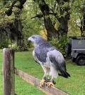 *** SOLD *** FEMALE CHILEAN BLUE BUZZARD EAGLE