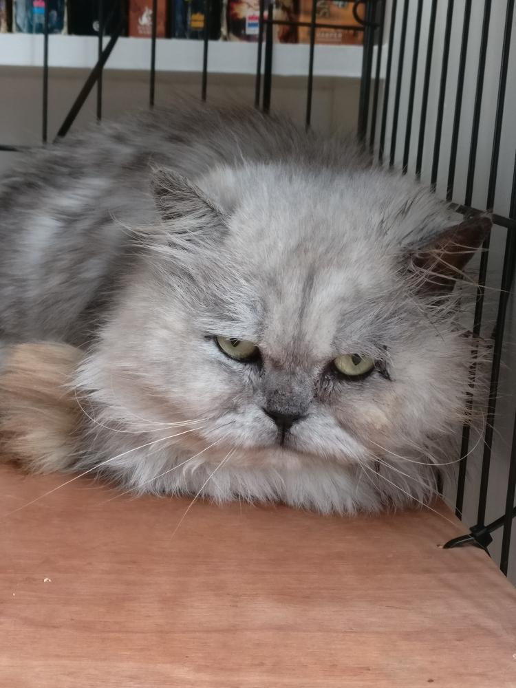 Humphrey, a 6 year old silver tabby Persian boy